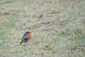 little-robin